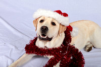 "SSD Patriot Susquehanna Service Dogs ""Getting Ready for the Holidays"" 2015"